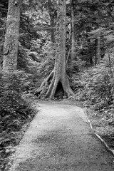 5993.2 Beach Path B&W (eyepiphany) Tags: beach oregon roots manzanita blackandwhitephotography oldgrowth smugglerscove oswaldstatepark oregonbeaches manzanitaoregon shortsandsbeach summerlife shortsandbeach majestictree oldgrowthtree oregontourism surfingspot bestplacestosurf bestplacestosurfinoregon oregonbeachtowns hotsurfingspots surfingroots