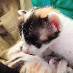 16 days #cat #kitten #แมว #ลูกแมว อายุ 16 วัน