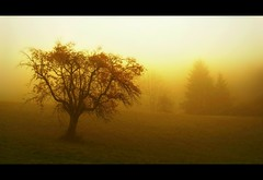 Solitary (BphotoR) Tags: november autumn tree yellow fog germany nebel hessen herbst powershot fir solitary hesse odenwald g10 abigfave juhhe forestofodes canonpowersho