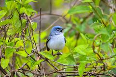 Blue-gray Gnatcatcher 041212a (jt893x) Tags: bird nikon sigma gnatcatcher bluegraygnatcatcher polioptilacaerulea 150500mm d7000