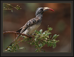African Grey Hornbill (Tockus nasutus) (Rainbirder) Tags: ngc africangreyhornbill tockusnasutus tsavowest specanimal rainbirder besteverdigitalphotography