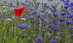 Summer... (Rainer Fritz) Tags: natur blumen fa sommerwiese summermeadow cornflowers
