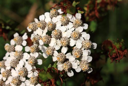 "Schafgarbe (Achillea millefolium) (02) • <a style=""font-size:0.8em;"" href=""http://www.flickr.com/photos/69570948@N04/28099198324/"" target=""_blank"">View on Flickr</a>"