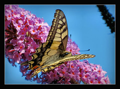 Schwalbenschwanz (karin_b1966) Tags: schmetterling butterfly insekt insect garten garden natur strauch bush pflanze plant blten blossoms 2016 schwalbenschwanz schmetterlingsflieder butterflylilac nature yourbestoftoday