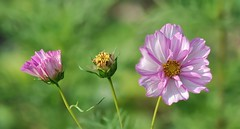 Cosmos roses (mamietherese1) Tags: ngc npc phvalue