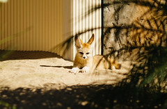 Fennec fox (VirtualWolf) Tags: animal australia canonef135mmf2lusm canoneos7d equipment fennecfox mammal mosman newsouthwales places sydney tarongazoo wildlife