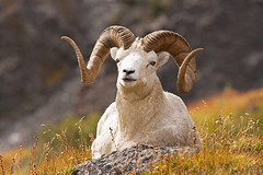 Full Curl Plus Dall Sheep Ram - Very Symmetrical (AlaskaFreezeFrame) Tags: dall dallsheep dallrams rams horns alaska alaskafreezeframe canon 70200mm outdoors nature wildlife mammals mountains fall climbing herbivores twins fullcurl