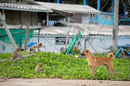Monkeys V Dog Hua Hin