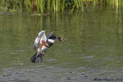 17082016-_PM02620_GF (michel paquin2011) Tags: martin pcheur repas poisson parc rapides lasalle