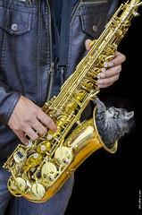 Jazz cat (Sakki-Duran) Tags: jazz saxofn sax saxophone music cats gato kitty