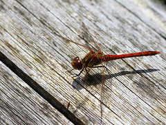 Dragonfly macro (spencerrushton) Tags: sirharoldhilliergardens spencerrushton spencer rushton river colour canon canon760d 760d manfrotto manfrottotripod macro outdoors nature dragonfly insect animal fly efcanon100mmf28lmacroisusm canon100mmf28lmacroisusm 100mm garden gardens green brown beautiful wild raw hillergarden