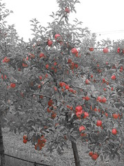 DSCN0372 (mavnjess) Tags: 1 may 2016 cripps pink lady apples orchard red black white bw sacha cin lucinda giblett cooking hibiscus compost composting compostbays chestnuts chestnut tree train carriages rainbow trolley bus trolleybus carriage
