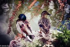 Los lunes al sol (Jons Garca) Tags: canon conmicanon eos700d nature naturaleza fauna aves lago parque agua pato photo amateur estanque madrid elsoto mostoles aguadulce