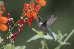 Ruby-throated Hummingbird (f) (Peter Stahl Photography) Tags: rubythroatedhummingbird hummingbird islelake