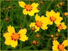 Petits soleils <> Little suns. (France-) Tags: 48 fleur flower paintingeffect jaune coreopsis