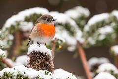 snowrobin-2529 (Henry.Cook) Tags: snow robin scarlet scarlettjohansson petroicaboodang banksia birdperchinginsnow