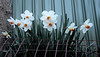 A Friday Daffodil Fence (PhotosbyDi) Tags: hff fencefriday daffodils flowers fence bulbs spring springtime nikond600 nikonf282470mmlens