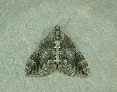 Common Marbled Carpet Dysstroma truncata (Iain Leach) Tags: birdphotography wildlifephotography photograph image wildlife nature iainhleach wwwiainleachphotographycom canon canoncameras photography canon1dx canon5dmk3 beauty beautiful beautyinnature macro macrophotography closeup butterfly moth lepidoptera insect invertebrate outdoors conservation commonmarbledcarpet dysstromatruncata