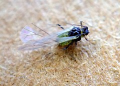 Soybean Aphid (bugldy99) Tags: animal arthropod arthropoda hexapoda hexapod hemiptera outdoors macro macrocloseup insect insecta