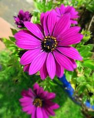 Souvenir du printemps (Doonia31) Tags: fleur vgtal nature printemps macro ptales violet vert jardinire pollen couleurs