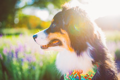 Dog Days of Summer (Lynleigh Cooper) Tags: aussie australianshepherd adventure adorable color colors colorful colorimage cute cuteanimals cutie cuteness cuddly photography primelens pretty love lovely gorgeous goldenhour goldenhourlight nikon nikond750 d750 fullframe beauty beautiful beautyinnature dog dogs puppy puppies baby babyanimal furbaby sweet nature naturalbeauty pets pet petphotography petpictures photographer photo photooftheday photograph photos new popular summer outdoors outside outdoor boy sigma sigmalens sigma35mm bokeh light highlights contrast depthoffield composition naturecloseup naturelover animallover