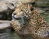 Valerio's Happy Place (Penny Hyde) Tags: bigcat jaguar sandiegozoo flickrbigcats