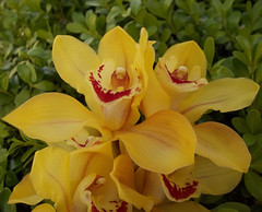R99 (verona39) Tags: flower orchids yellow garden outdoor abigfave