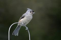 Tufted Titmouse (Mike's Birds) Tags: titmouse tuftedtitmouse