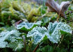 Frsta frosten (evisdotter) Tags: frost morning nature macro bokeh leaves