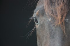 Horse-00009 (Rknebel) Tags: horse cavalocrioulo