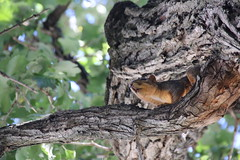 Squirrels in Ann Arbor at the University of Michigan (September 19, 2016) (cseeman) Tags: squirrels annarbor michigan animal campus universityofmichigan umsquirrels09192016 summer eating peanut septemberumsquirrel cavity cavitynest squirrelcavitynest knothole gobluesquirrels