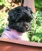 Kia 8 weeks old.   In Deep Thought (Dark YorkiPoos) Tags: kia yorkiepoo hypoalergenic poodle yorkie mix small dark fluffy