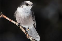 Gray Jay1522 (NicoleW0000) Tags: gray jay bird