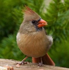 snack (cseager40) Tags: cardinal ontario