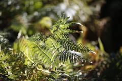 Fern (imagetaker!) Tags: fern bracken dof depthoffield woods woodlands peterbarker petebarker imagetaker1 imagetaker