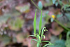Butterfly Weed (mama-bear) Tags: september 2016 cultivate inthegarden autumn garden pods butterflyweed