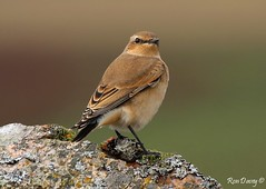 Wheatear, Dartmoor, UK. Image 3. (ronalddavey80) Tags: wheatear bird canon eos70d moorland