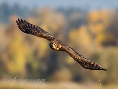 Northern Harrier at Ridgefield NWR - Explored Nov. 7, 2012 (guitarman4) Tags: 5dmarkiii dennisdavenportphotographycom dennisdavenportphotography