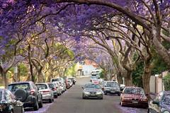 Jacaranda St (Kokkai Ng) Tags: road street new flowers trees flower tree cars car st wales point spring purple south sydney australia flowering jacaranda milsons blooming kirribilli mcdougall