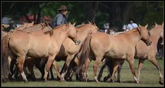 Día de la Tradición (Totugj) Tags: caballos folk folklore gauchos tradición folclore provinciadebuenosaires sanantoniodeareco