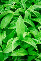 Corn Lily (Greg Vaughn) Tags: travel plants usa west detail texture nature monochrome lines vertical closeup america outdoors design washington flora paradise pattern graphic scenic meadow nobody monochromatic american waterfalls mountrainier western pacificnorthwest wildflowers northwestern cascademountains cornlily falsehellebore greencolor gregvaughn veratrumcalifornicum 0808104
