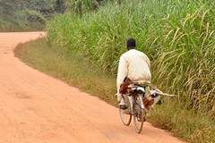 how to carry 3 chickens and a goat on a bicycle (Pejasar) Tags: africa road man chicken bike bicycle goat ghana westafrica mission missions fumc vimvolunteerinmission tulsafirstunitedmethodistchurch