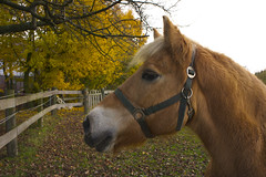haflinger horse (ewka.) Tags: autumn wild portrait horse brown fall nature animal photography gold beige laub herbst portrt planet pferde bltter pferd haflinger