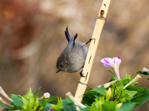"""Bushtit • <a style=""""font-size:0.8em;"""" href=""""http://www.flickr.com/photos/59465790@N04/8181310996/"""" target=""""_blank"""">View on Flickr</a>"""