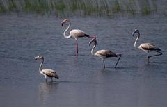 Flamingoes (rameshsar) Tags: india nature birds pulicat sharroad
