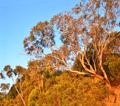 Late afternoon  -  Arthur's Seat (phunnyfotos) Tags: light sunset tree gum landscape bush nikon australia victoria eucalypt vegetation vic gumtree morningtonpeninsula arthursseat lateafternoonlight d5100 nikond5100 phunnyfotos