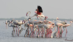 Iam the king-  Greater Flamingo (Phoenicopterus roseus) (prasanth2406) Tags: portrait india color nature birds photography nikon colorfull wildlife indian flamingo national catch nikkor chennai phoenicopterusroseus tamilnadu nationalgeographic prasanth phoenicopterus roseus nikon70300 prastography prasanthphotos