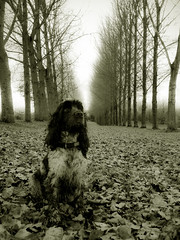 Avenue of Trees (Photo Gal 2009) Tags: autumn trees bristol waiting sitting autumnleaves sit wait spaniel cocker cockerspaniel baretree dogwalk englishcockerspaniel avenuetrees dogsit rowtrees autumndogwalk cockerboy highqualitydogs highqualityanimals bristoldogwalk dogwait