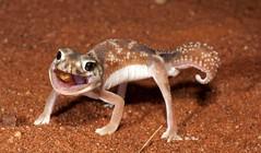 Smooth Knob-tailed Gecko (Nephrurus levis) (Gus McNab) Tags: nephruruslevis