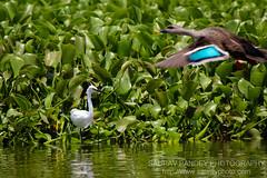 Neighbours (Saurav Pandey) Tags: india lake bird heron nature birds bangalore goose karnataka waterbirds madiwala madiwalalake